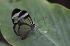 Glasswing蝴蝶 免版税库存图片