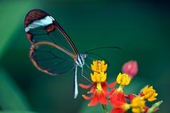 Glasswing蝴蝶 免版税库存照片