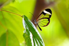 Glasswing butterfly. Resting on a plant leaf Stock Photos