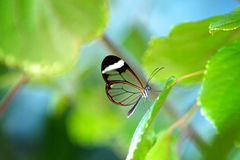 Glasswing butterfly royalty free stock images