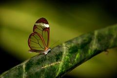 Glasswing butterfly. Glasswingn butterfly resting on a leaf Stock Image