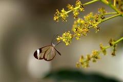 Glasswing butterfly. Glasswingn butterfly resting on a flower Royalty Free Stock Photos