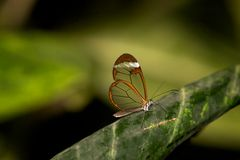 Glasswing butterfly Royalty Free Stock Photos