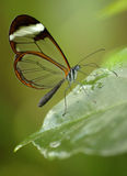 Glasswing butterfly Stock Image