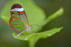 Glasswing Butterfly. A Glasswing Butterfly, Also Called a Greta Oto, Resting on a Green Leaf stock photography