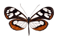 Glasswing butterfly royalty free stock photo