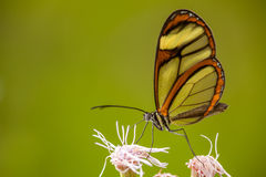 Glasswing butterfly on flower. With green background Royalty Free Stock Photography