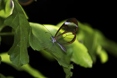 Glasswing Butterfly, Greta Oto Royalty Free Stock Images