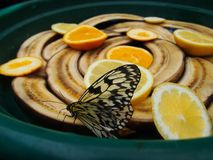 Glasswing butterfly Greta oto brush-footed butterfly eating banana and orange. stock photos