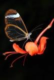 Glasswing Butterfly (greta oto) Stock Photos