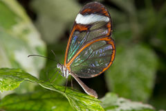 Glasswing Butterfly (greta oto) Royalty Free Stock Image