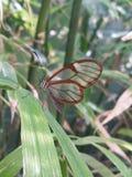 Glasswing fjäril Royaltyfri Foto