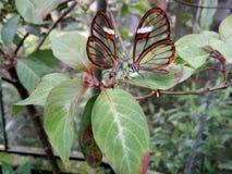 Glasswing fjäril Arkivfoto