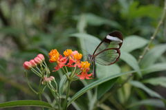 Glasswing fjäril på blomman Arkivbild