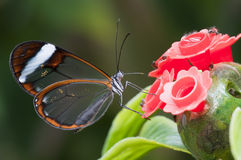 Glasswing (Greta oto)  butterfly Royalty Free Stock Photography