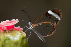 Glasswing (Greta oto)  butterfly Royalty Free Stock Photos