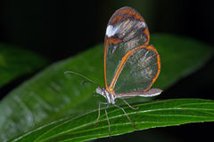 Glasswing motyl (greta oto) Obrazy Stock
