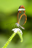 Glasswinged butterfly Stock Photo