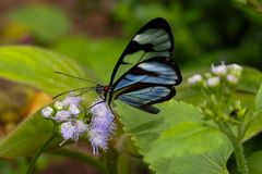 A Glasswinged butterfly feeds in a Costa Rican garden. royalty free stock images