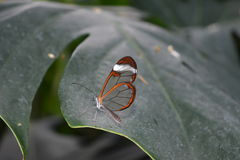 Glasswinged butterfly -Greta oto- on a green leaf Royalty Free Stock Images
