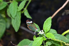 Glasswinged butterfly -Greta oto- on a green leaf Stock Images