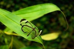 Glasswinged Butterfly Greta oto Stock Photos
