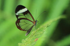 Glasswinged butterfly Royalty Free Stock Images