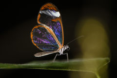 Glasswinged butterfly (Greta oto) ventral view Royalty Free Stock Photography