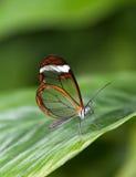 glasswinged fjäril arkivbild