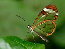 Glasswinged-Schmetterling Lizenzfreies Stockbild
