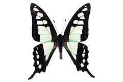 Free Glassy Bluebottle Butterfly Royalty Free Stock Image - 46586266