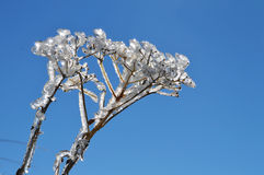 Glassy Flower. Ice covered spray looking like a glassy flower in a sunny day with blue sky Stock Image