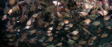 Glassy Sweepers under a reef ledge Stock Images