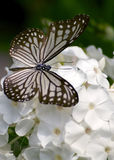 Glassy tiger butterfly. On phlox flowers stock photo