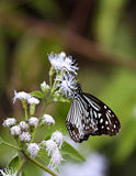 Glassy Tiger butterfly on white flowers. A beautiful Glassy Tiger (Parantica aglea) seeping nectar on a white hairy flower. It has wonderful striped wings of stock photos