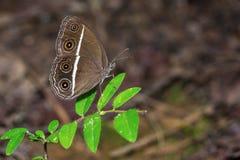 Glatt-äugiger Bushbrown-Schmetterling Stockfoto