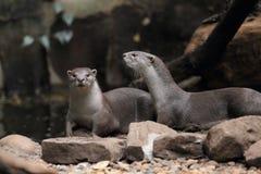 Glatt-überzogener Otter lizenzfreies stockbild