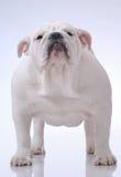 Glatt-behaarte englische Bulldogge Stockfoto