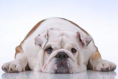 Glatt-behaarte englische Bulldogge Lizenzfreie Stockfotos