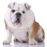 Glatt-behaarte englische Bulldogge Stockbilder