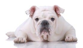 Glatt-behaarte englische Bulldogge Stockbild