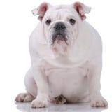 Glatt-behaarte englische Bulldogge Lizenzfreie Stockbilder