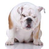 Glatt-behaartes englisches Bulldoggedösen Lizenzfreies Stockfoto