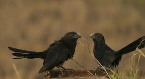 Glatt-berechnete Ani Crotophaga-sulcirostris Vögel in Sumpfgebiet Unare-Lagune, Venezuela stockfotografie