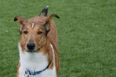 Glatte überzogene Collie Standing On Lawn Lizenzfreies Stockfoto