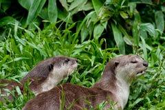 Glatte Fluss-Otter Stockbilder