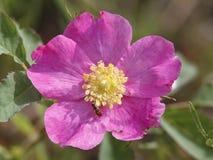 Glatte Rose mit Hoverfly Lizenzfreies Stockbild