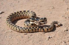 Glatte Schlange der kalifornischen Wüste, Mohavewüste, Kalifornien Stockfotografie