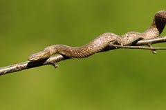 Glatte Schlange, die auf Baumast klettert Stockbild