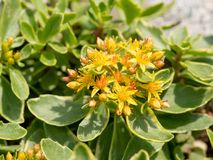 Glattes grünes StonecropSedum-kamtschaticum ** Anmerkung: Flacher dep Stockfoto